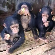 Cute Baby Chimpanzees for Sale